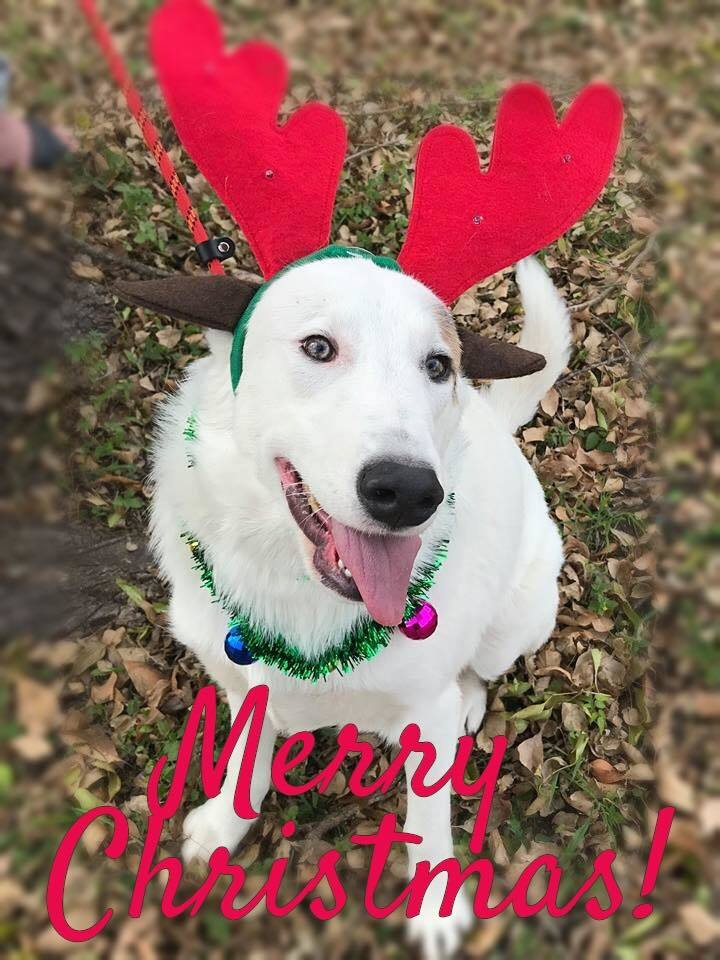 Barney CB, an adopted Great Pyrenees & Husky Mix in Von Ormy, TX