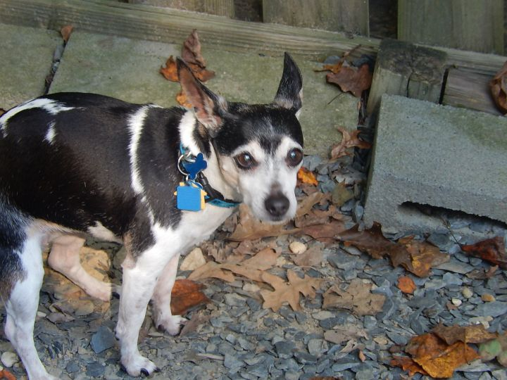 Tilly, an adopted Rat Terrier in Bremo Bluff, VA