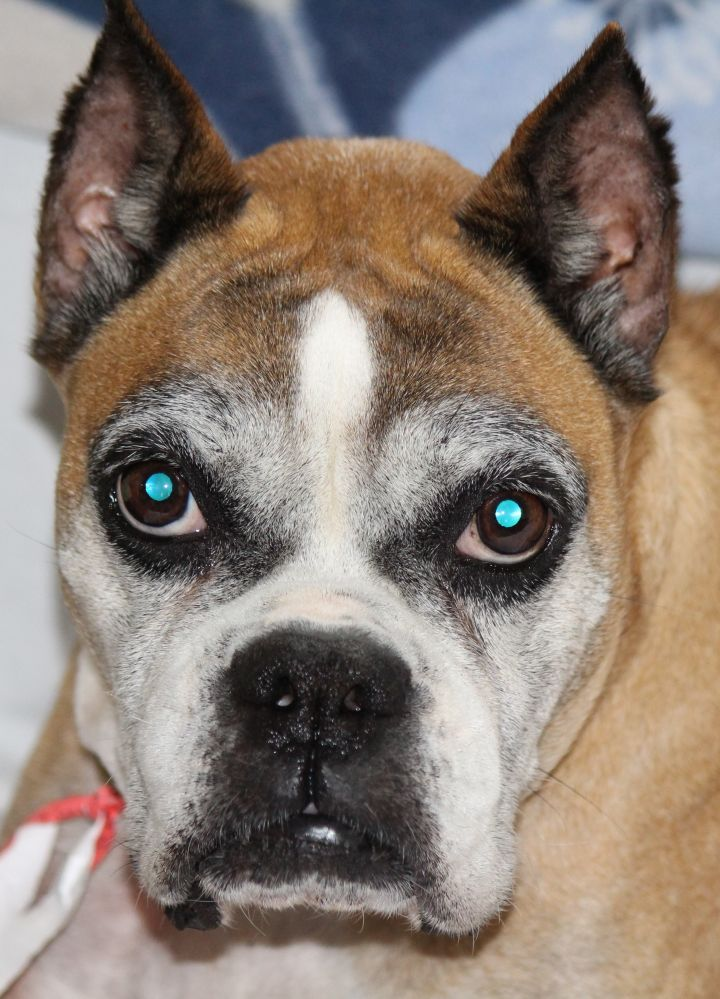 Grace, an adopted Boxer in Boiling Springs, PA