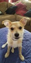 Wire Fox Terrier Dog: Jack