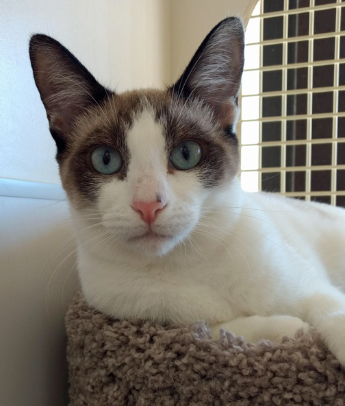 Meghan Markle, an adoptable Siamese & Domestic Short Hair Mix in Palo Cedro, CA