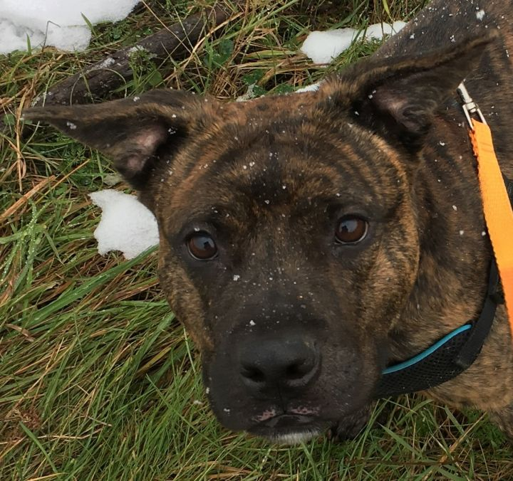 Bruno, an adopted Pit Bull Terrier in Allegan, MI