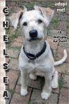 Irish Terrier Dog: Chelsea