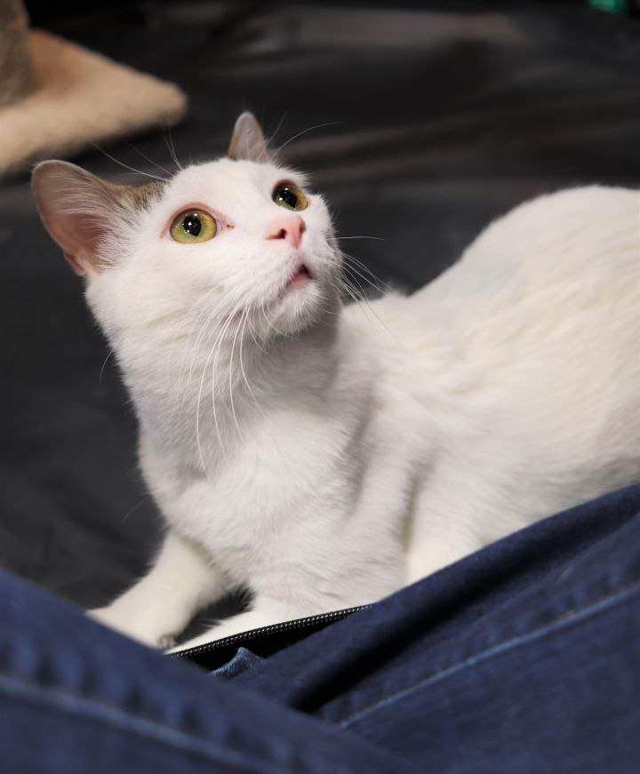 Spike, an adoptable Domestic Short Hair in Boiling Springs, PA