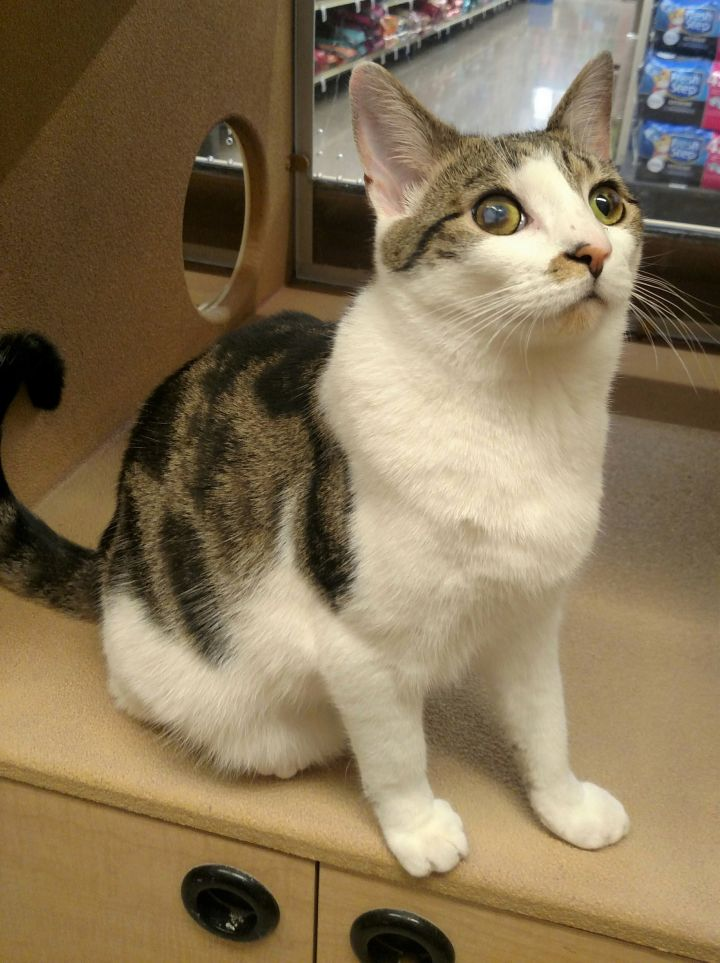 Stevie, an adoptable Domestic Short Hair in Boiling Springs, PA