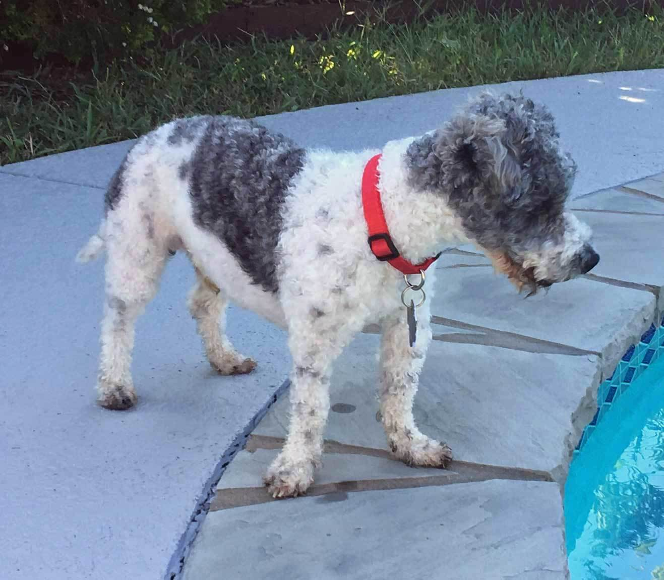 Dog for Adoption – SKIPPER - SWEET LITTLE POODLE MIX, near Plano, TX ...