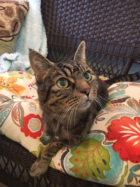 Clover, an adopted Tabby in Redmond, WA