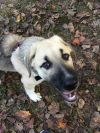 "Anatolian Shepherd Dog: NORTH CAROLINA, GREENSBORO; ""HALUK"""