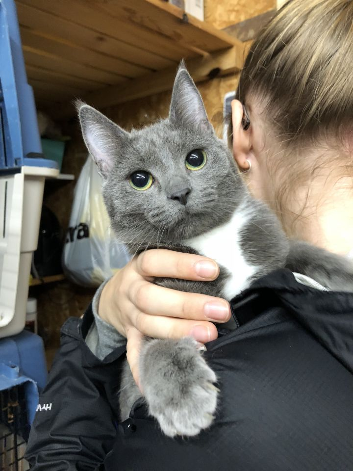 Ivy, an adopted Domestic Short Hair in Kenora, ON