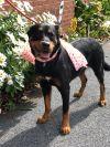 Bernese Mountain Dog Dog: Baby Girl