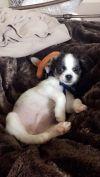 Cavalier King Charles Spaniel Dog: Oreo Samich