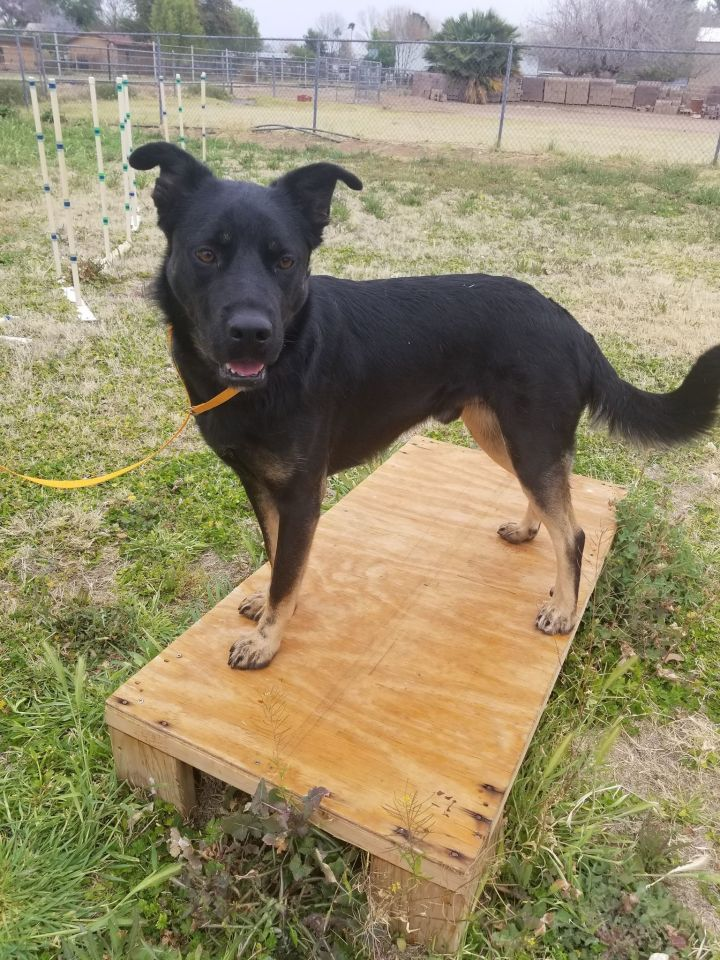 Bear, an adopted Rottweiler Mix in Glendale, AZ