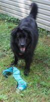 Newfoundland Dog Dog: Gracie