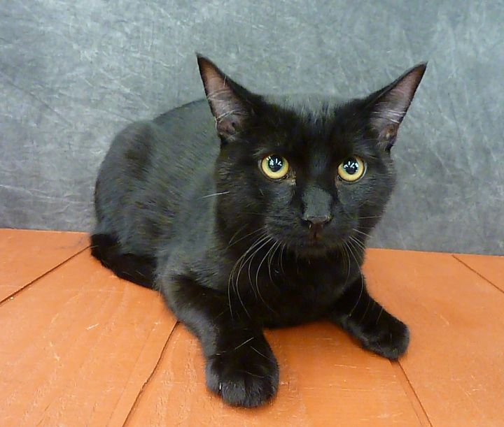 Chan- Pending, an adopted Domestic Short Hair in League City, TX