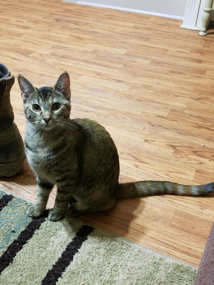 Tip, an adopted Domestic Short Hair in Manhattan, KS