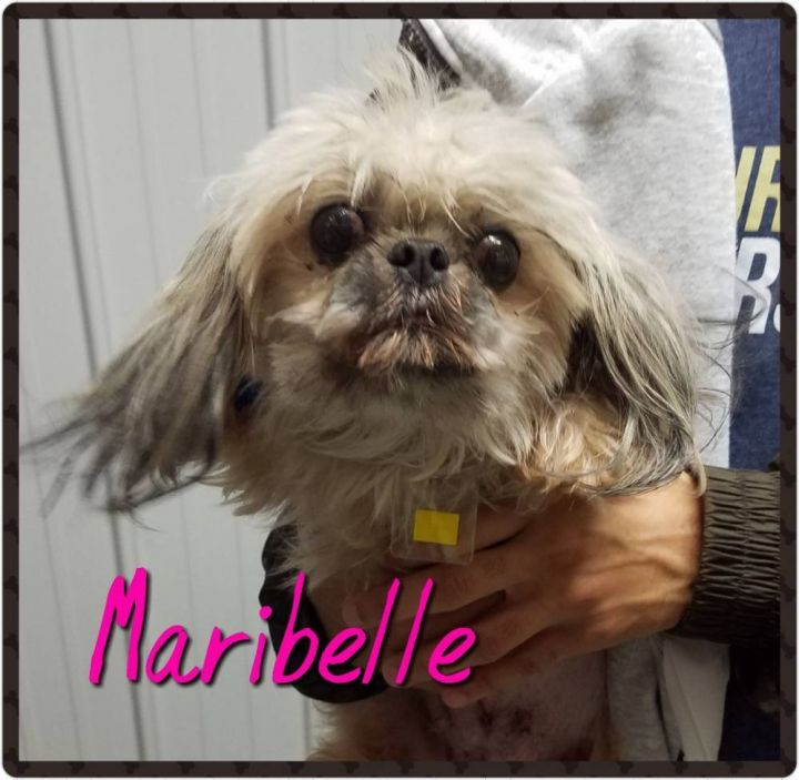 Maribelle, an adopted Shih Tzu in Tulsa, OK