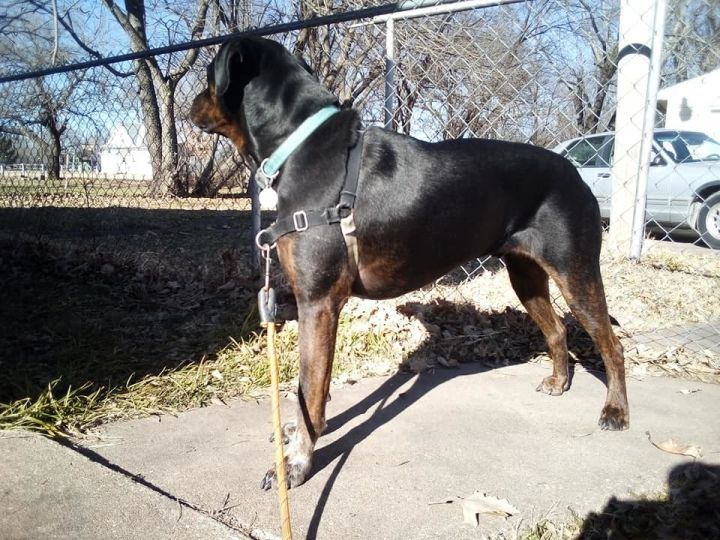 Toby, an adopted Rottweiler & Hound Mix in Manhattan, KS