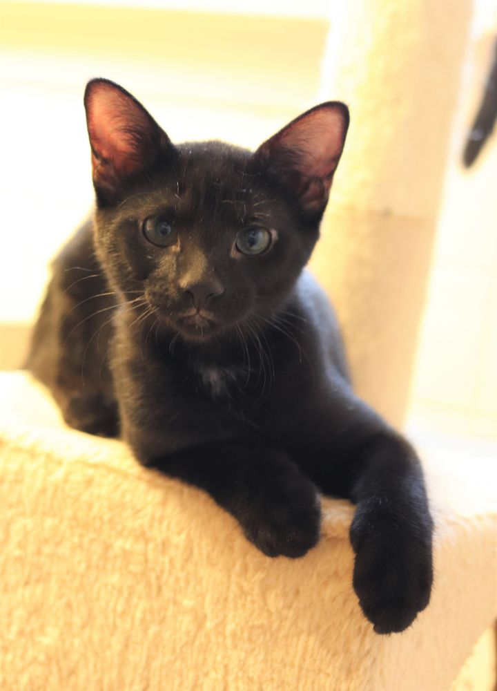 Cooper, an adopted Domestic Short Hair in Boiling Springs, PA