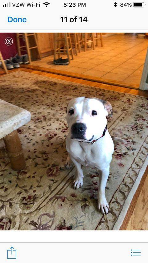 Mona, an adopted Pit Bull Terrier Mix in Wantagh, NY