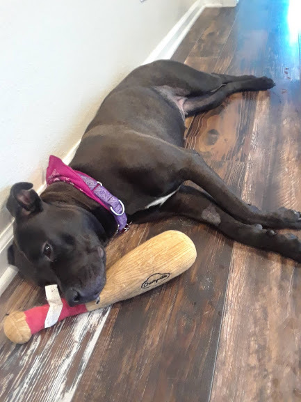Mocha, an adopted Pit Bull Terrier Mix in Milwaukee, WI