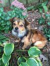 Tibetan Terrier Dog: Odie