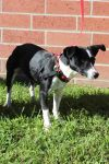 Jack Russell Terrier Dog: Tinsel