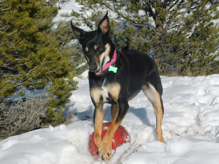 Coco, an adopted Australian Kelpie Mix in Ridgway, CO