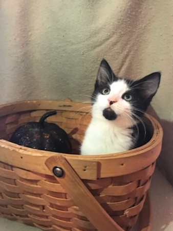 Marley, an adopted Domestic Short Hair in Boiling Springs, PA