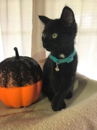 IzzyPENDING, an adopted Domestic Short Hair in Boiling Springs, PA