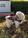 Havanese Dog: Sprout