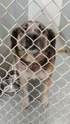 Keeshond Dog: KENNEL # 32