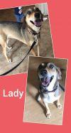 Norwegian Elkhound Dog: Lady