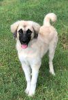 Anatolian Shepherd Dog: Lucie