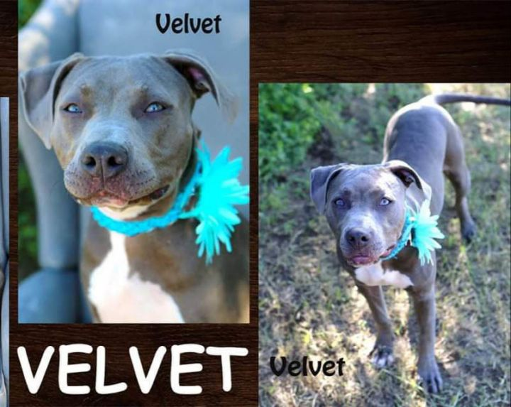 Velvet, an adopted Pit Bull Terrier Mix in Eagle, ID