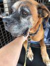 Boxer Dog: Korndog