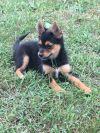 Yorkshire Terrier Yorkie Dog: Pinkie