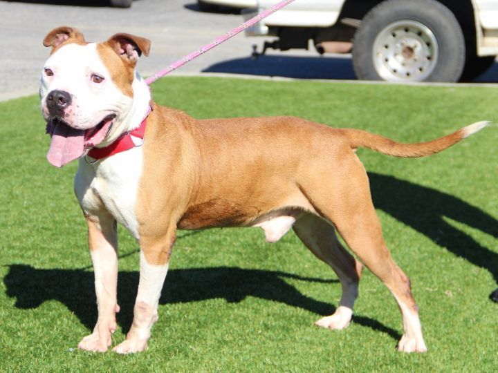 Lobo, an adopted Pit Bull Terrier Mix in Grass Valley, CA