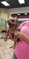 Chihuahua Dog: Scotty