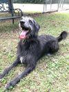 Scottish Deerhound Dog: FRANKIE