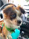 Pekingese Dog: Super Precious Peludo
