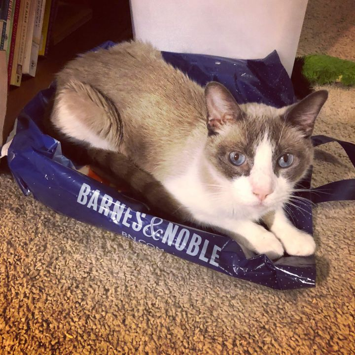 Langston, an adoptable Siamese in Carencro, LA