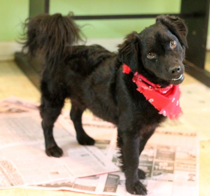 Kirby, an adopted Poodle & Spaniel Mix in Dalton, GA