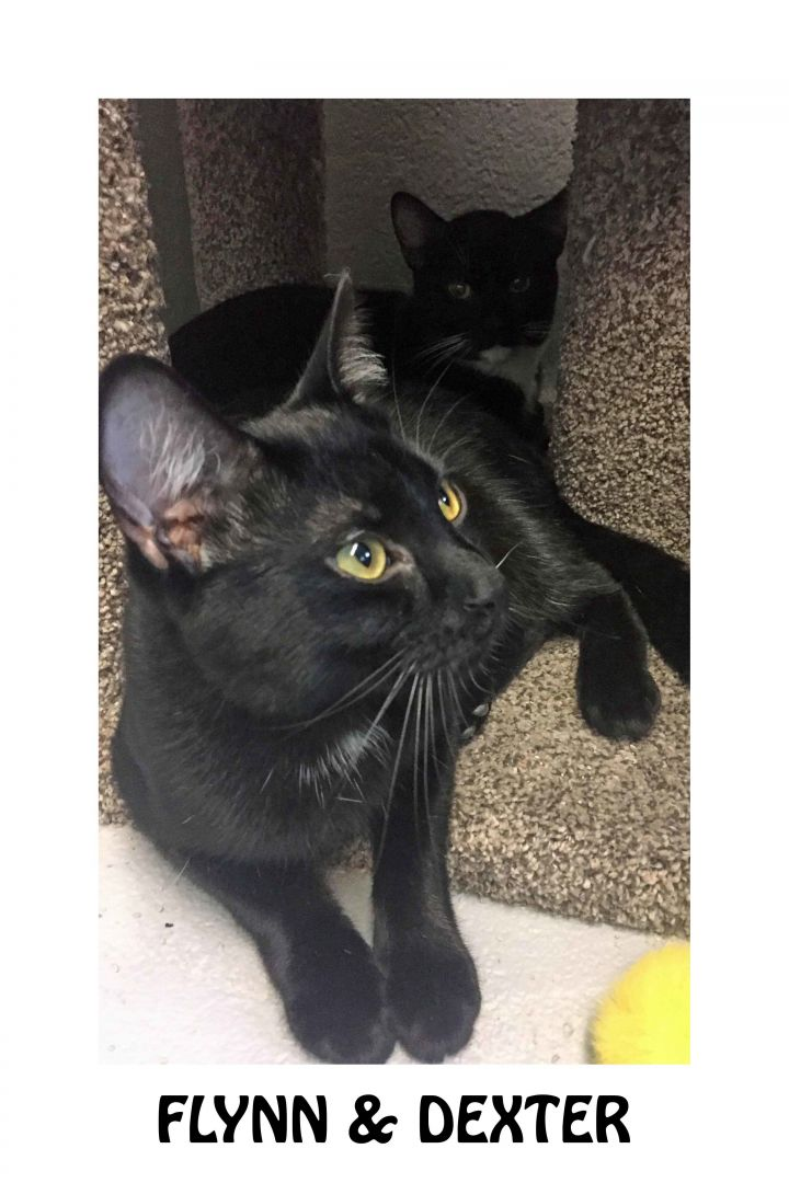Flynn & Dexter- Brothers, an adopted Domestic Short Hair in Mendham, NJ