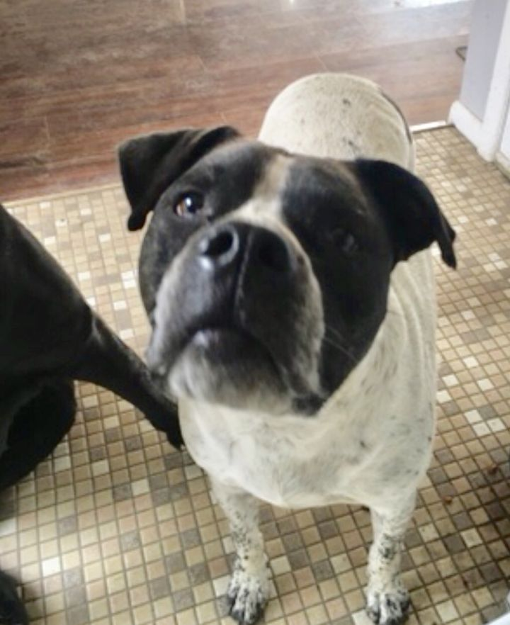 Dog for adoption - Sandor, a Boxer & Catahoula Leopard Dog
