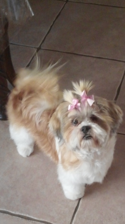 Sassy, an adopted Shih Tzu Mix in Calgary, AB