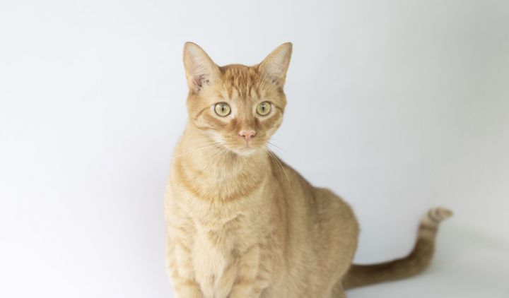 Lane, an adopted Domestic Short Hair in Columbus, NC