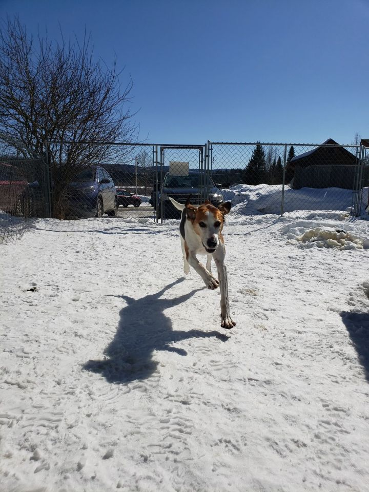 Kale, an adoptable Coonhound in Orleans, VT