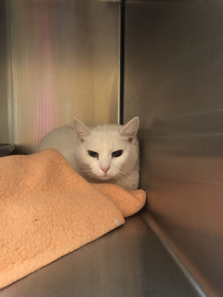 Snowball, an adoptable Domestic Short Hair Mix in Appleton, WI