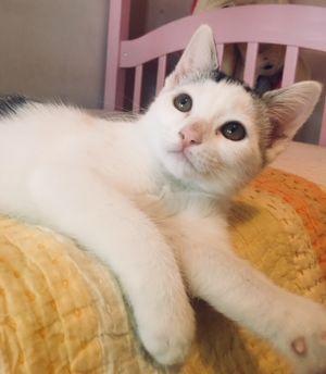 Cat for adoption - Phoenix, a Turkish Van & Tabby Mix in Gardena, CA