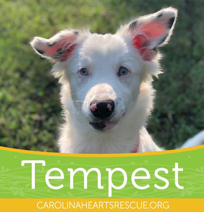 Dog for adoption - Tempest, an Australian Shepherd & Australian